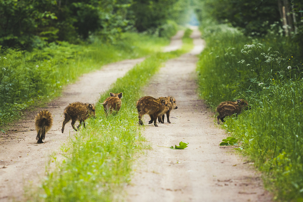 Wild boar (Sus scrofa) piglets, Ķemeri National Park, Latvia Ⓒ Davis Ulands | davisulands.com (Davis Ulands/Ⓒ Davis Ulands | davisulands.com)