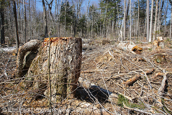 Unit 36 of the Kanc 7 Timber Harvest Project  during the spring months in the White Mountains of New Hampshire. The harvest method for Unit 36 was Group/STS (Group Selection & Single Tree Selection). Referenced from the Kanc 7 proposed package documents. Signs of the timber harvest project are visible when traveling along the Kancamagus Scenic Byway.