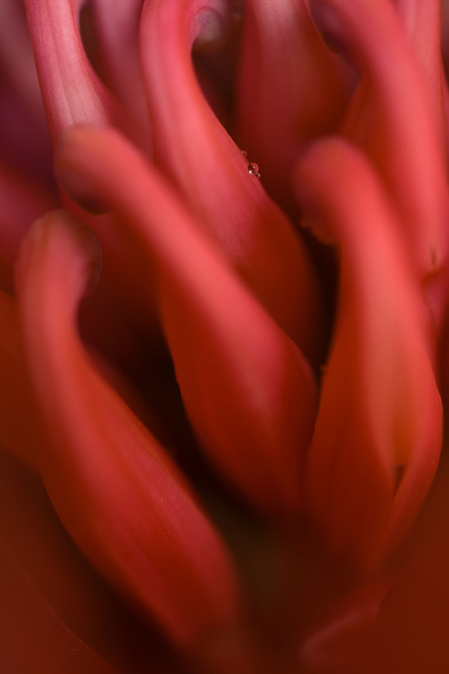 closeup of a water drop on a petal (Janice Sullivan, SJP)