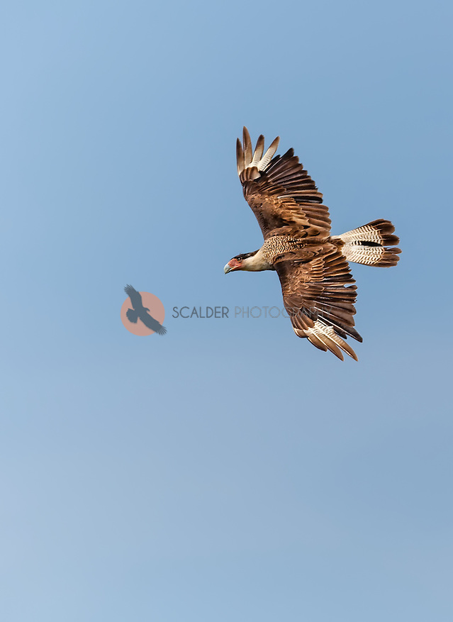 Crested Caracara in flight against blue sky, soaring. Image is vertical (sandra calderbank)