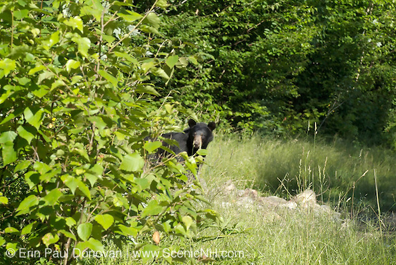 Black Bear -Ursus americanus- roaming a campsite looking for food scraps during the summer months in the White Mountains, New Hampshire USA (Erin Paul Donovan)
