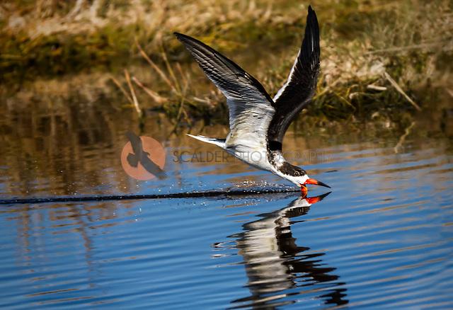 Balck Skimmer, skimming along water surface in canal at Merritt Island, Florida (Sandra Calderbank, sandra calderbank)