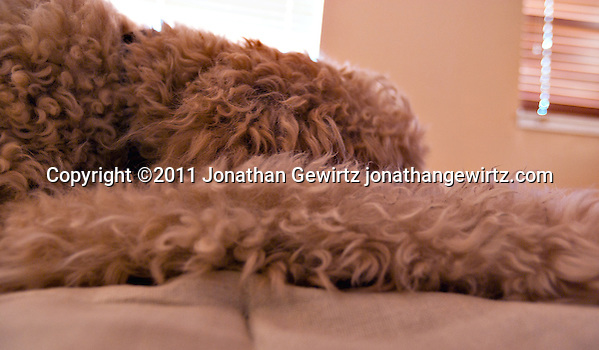 Abstract view of a goldendoodle dog sleeping. (Jonathan Gewirtz)