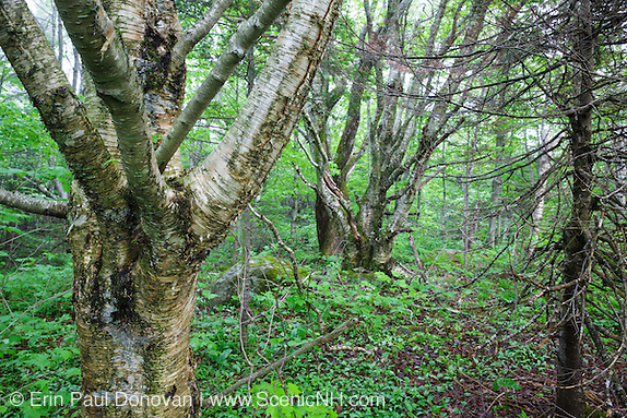 Birch tree in Kinsman Notch of the White Mountains, New Hampshire.