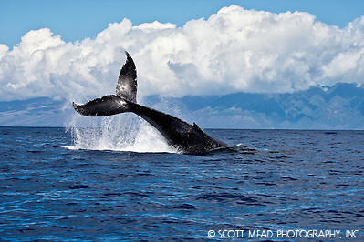 Pacific Humpback Whale off the coast of Maui Hawaii in the Central Pacific Ocean, Tail (© Scott Mead Photography, Inc. ALL RIGHTS RESERVED)
