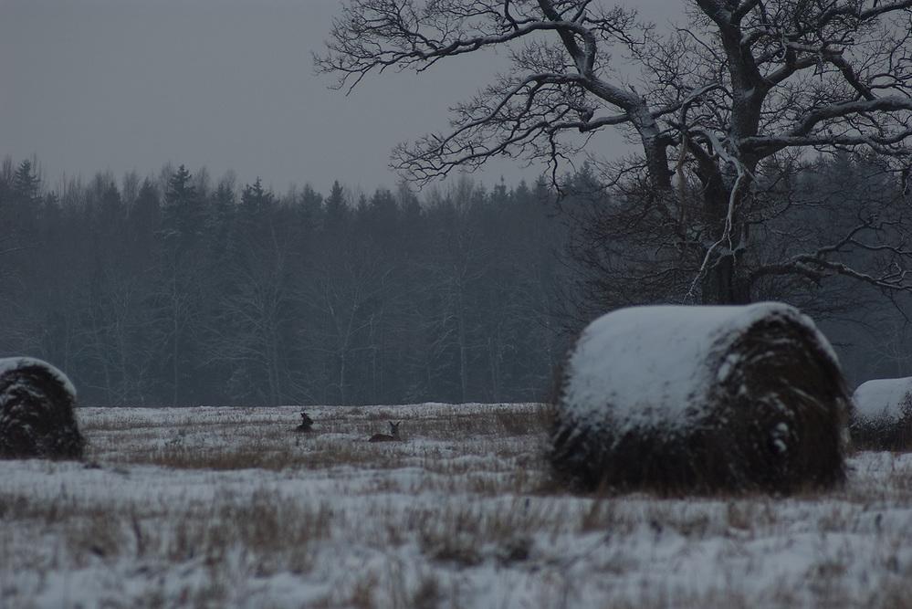 Roe deer (Capreolus capreolus) in winter landscape, Norther Vidzeme, Latvia Ⓒ Davis Ulands | davisulands.com (Davis Ulands/Ⓒ Davis Ulands | davisulands.com)