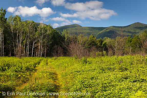 Regrowth (foreground) of forest three months (+/-) after a controlled burn along the Kancamagus Highway in the White Mountains, New Hampshire.