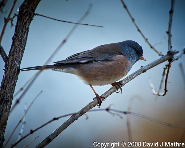 Dark-eyed Junco (Pink Sided). (David J Mathre)