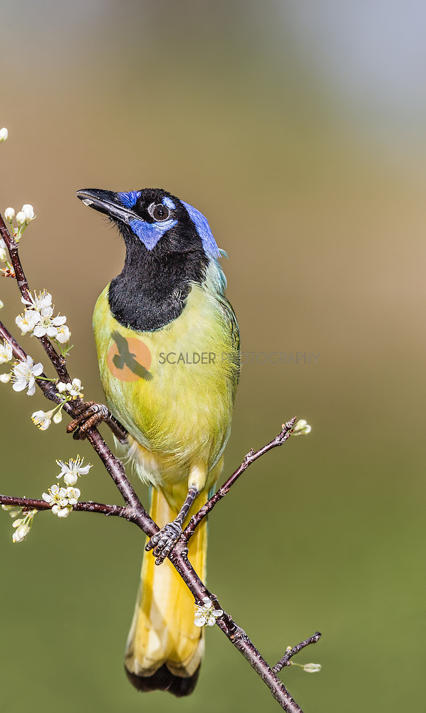 Green Jay perched on flowery branch eating white blossoms (Sandra Calderbank, sandra calderbank)