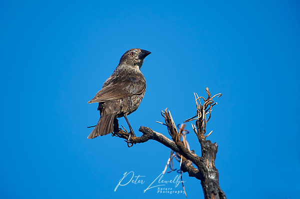 Female Bronzed Cowbird (Molothrus aeneus) perched in a tree, Alan Lloyd trail, Ajijic, Jalisco, Mexico (Peter Llewellyn)