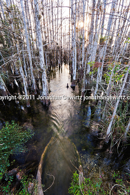 Bald Cypress forest in Everglades National Park, Florida. (Jonathan Gewirtz)