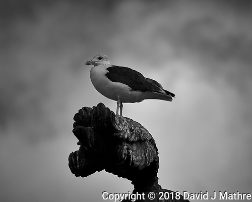 Seagull on a Statue. (David J Mathre)