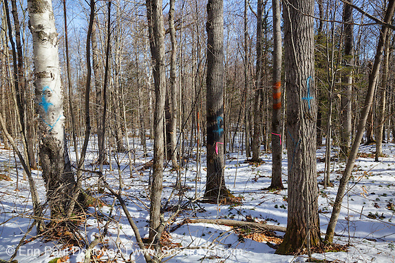 Marked up trees in a unit of the Pemi Northwest timber harvest project in Benton, New Hampshire. The three orange paint marks usually, not always, mark boundaries of the harvest or other obstacles of concern. The blue paint marks indicate that the tree will be cut. And the black paint marks are covering up old paint markings.
