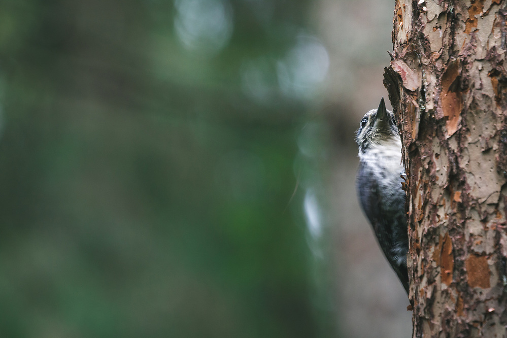 Three-toed woodpecker (Picoides tridactylus) looking for next spot to peck, Gauja National Park, Latvia Ⓒ Davis Ulands | davisulands.com (Davis Ulands/Ⓒ Davis Ulands | davisulands.com)