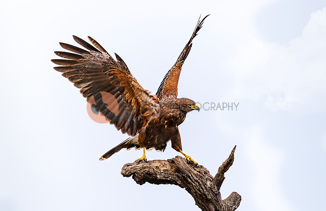 Harris's Hawk perched on dead tree with aggresive stance, wings up (sandra calderbank)