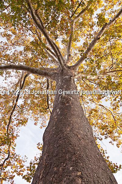 View up the trunk of a tall sycamore tree. (Copyright 2011 Jonathan Gewirtz jonathan@gewirtz.net)