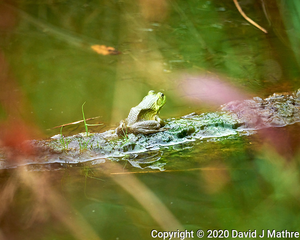 Kermit the Bulfrog. Image taken with a Leica SL2 camera and Sigma 100-400 mm lens (DAVID J MATHRE)