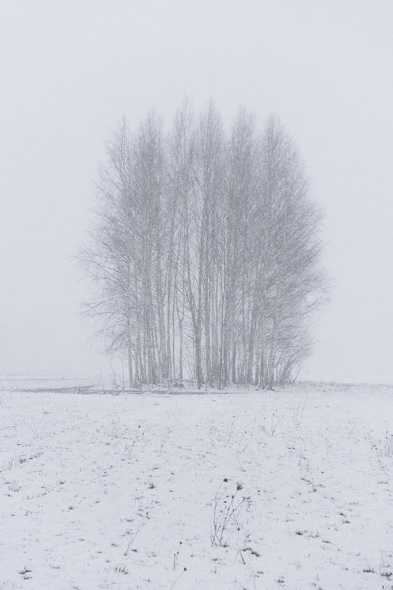 A group of birch trees on snow covered meadow in heavy spring snowfall, Nīcgale, Latvia Ⓒ Davis Ulands | davisulands.com (Davis Ulands/Ⓒ Davis Ulands | davisulands.com)
