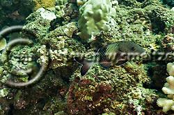 Island Goatfish, Parupeneus insularis, Randall & Myers, 2002, Molokai Hawaii (Steven W SMeltzer)