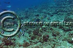 Pennant Butterflyfish, Heniochus diphreutes, Jordan, 1903, Molokai Hawaii (Steven W SMeltzer)