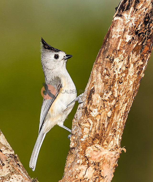 Black-Crested titmouse in profile perched on a tree (sandra calderbank)