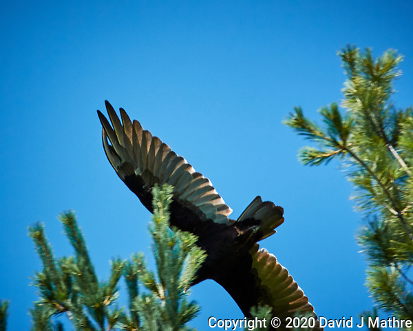 Turkey Vulture. Image taken with a Nikon N1V3 camera and 70-300 mm VR lens (DAVID J MATHRE)