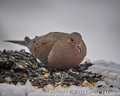 Mourning Dove. (David J Mathre)