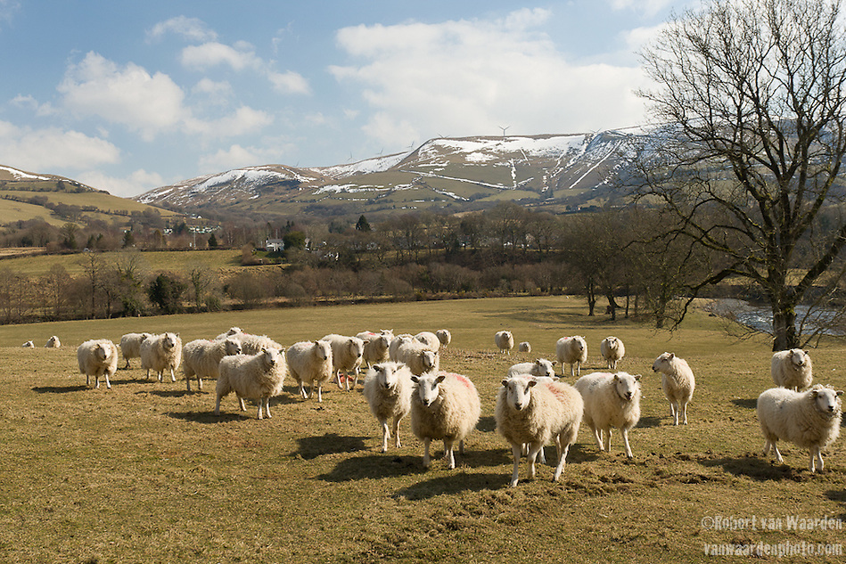 Sheep in a pasture in Wales. In the background is the Ceemase wind farm. (Robert van Waarden)