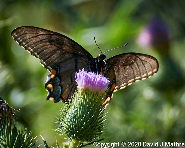 Dark morph of an Eastern Tiger Swallowtail butterfly. Image taken with a Nikon N1V3 camera and 70-300 mm VR lens (DAVID J MATHRE)