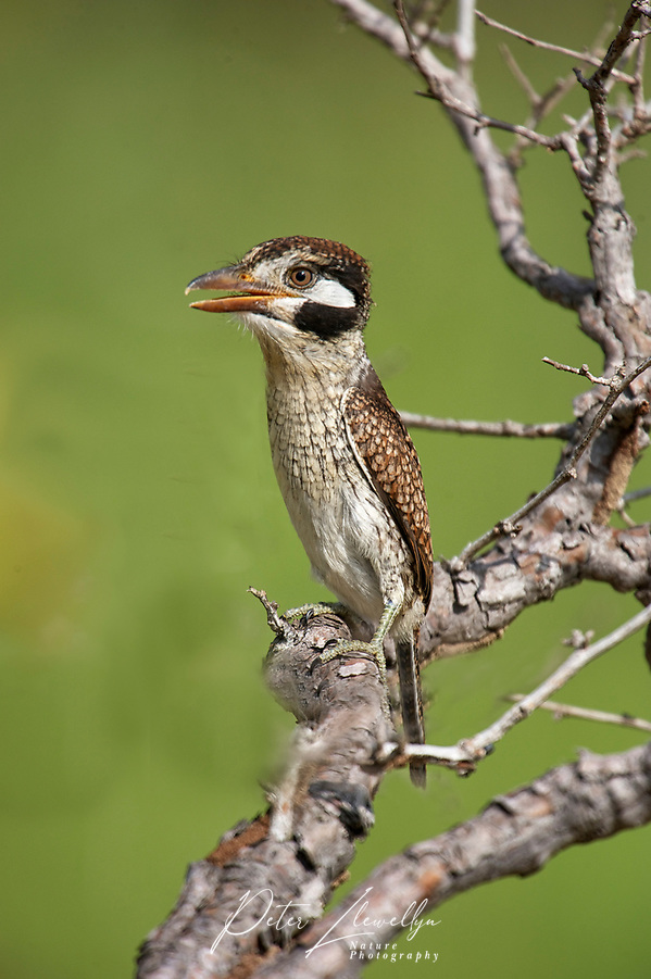 White-eared Puffbird (Nystalus chacuru), Mato Grosso, Brazil (Peter Llewellyn/Peter Llewellyn Photography)