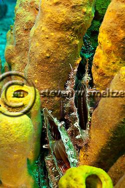 Clams and Yellow Tube Sponges, Doc Paulson, Grand Cayman (StevenWSmeltzer.com)