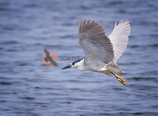 Black-Crowned Night Heron in flight with wings aloft over water (Sandra Calderbank, sandra calderbank)