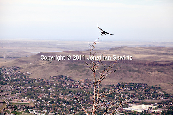 A raven takes flight from a tree on Lookout Mountain over Golden, Colorado. (Jonathan Gewirtz)