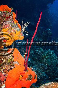 Elephant Ear Sponge, Agelas clathrodes, Row Pore Rope Sponge, Aplysina cauliformis, Grand Cayman (StevenWSmeltzer.com)