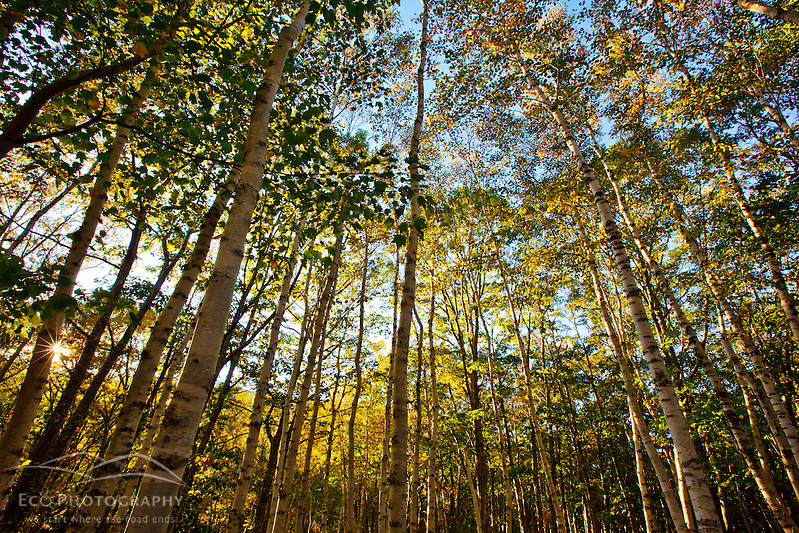 Paper birch trees in Maine's Acadia National Park. Fall. (Jerry Monkman)