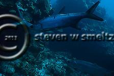 Tarpon, Megalops Atlanticus, Tarpon Alley, Grand Cayman (StevenWSmeltzer.com)