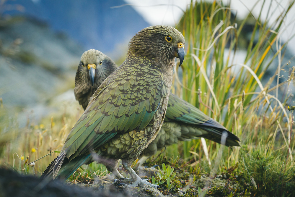 A pair of kea (Nestor notabilis) evaluating chances of stealing from a backpack, Aoraki/Mount Cook National Park, New Zealand Ⓒ Davis Ulands | davisulands.com (Davis Ulands/Ⓒ Davis Ulands | davisulands.com)