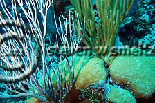 Underwater coral garden, sea rods and hard coral. (Steven Smeltzer)