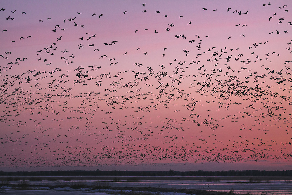 Migrating geese taking off from their roosting site, Svēte floodplains, Latvia Ⓒ Davis Ulands | davisulands.com (Davis Ulands/Ⓒ Davis Ulands | davisulands.com)