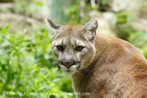 Cougar new hampshire