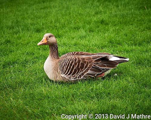 Graylag Goose. (David J Mathre)