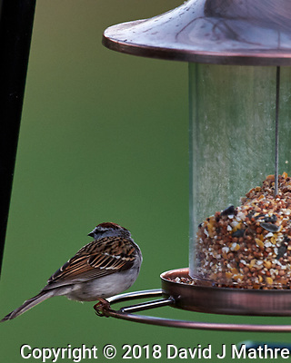 Chipping Sparrow. (David J Mathre)