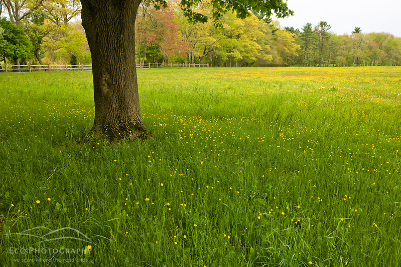 Buttercups bloom in a pasture at the O'Neil farm in Pembroke, Massachusetts. (Jerry and Marcy Monkman/EcoPhoto)