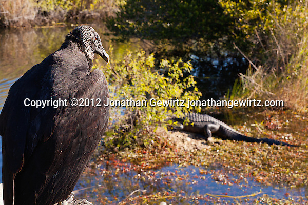 An American Black Vulture (Coragyps atratus) watches American alligators (Alligator mississippiensis) basking in the sun in the marshy part of a slough near the Anhinga Trail in Everglades National Park, Florida. (© Jonathan Gewirtz)