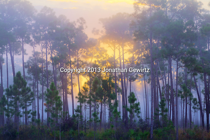 Sunrise behind a grove of slash pines at Long Pine Key in Everglades National Park, Florida. WATERMARKS WILL NOT APPEAR ON PRINTS OR LICENSED IMAGES. (© 2013 Jonathan Gewirtz / jonathan@gewirtz.net)