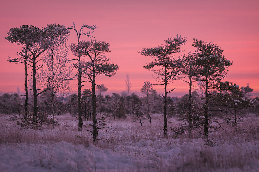 A loose group of scots pines (Pinus sylvestris) in snowy raised bog with gentle pink clouds covering the sky, Kemeri National Park (Ķemeru Nacionālais parks), Latvia Ⓒ Davis Ulands | davisulands.com (Davis Ulands/Ⓒ Davis Ulands | davisulands.com)