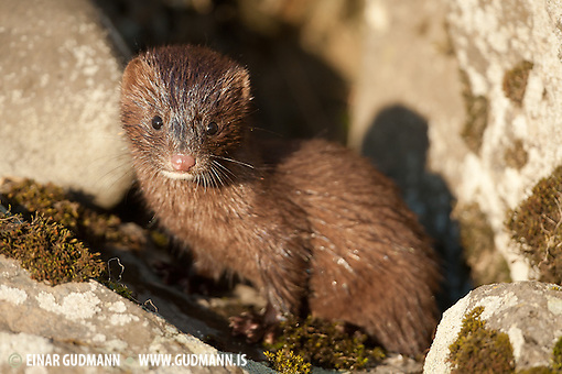 Despite beeing a disaster for birdlife the mink is hard to find in Iceland. This serie of photos is taken in south-Iceland of a family of female and two cubs. The evening sun made the light great and with some planning it was possible to photograph them for a while. (Einar Gudmann)
