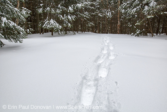 Fresh snowshoe tracks in forest after a dusting of snow in Lincoln, New Hampshire USA (ScenicNH Photography LLC | Erin Paul Donovan)