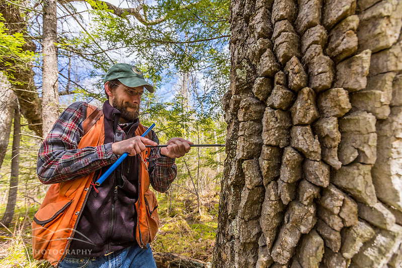 A forestry grad student (Michael Simmons) takes a core sample from a black gum tree (tupelo), Nyssa sylvatica. The core will be examined under a microscope to estimate the age of the tree. Barrington, New Hampshire. (Jerry and Marcy Monkman)