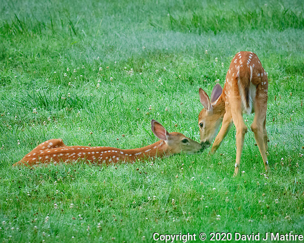 Pair of young fawns with spots. Image taken with a Fuji X-T2 camera and 200 mm f/2 OIS lens and 1.4x teleconverter (ISO 12800, 280 mm, f/5.6, 1/400 sec) (David J Mathre)